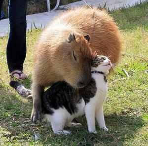 CapybaraandPussycatSouthAmericablog