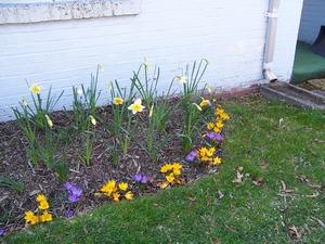 DaffodilsCrocusesblog
