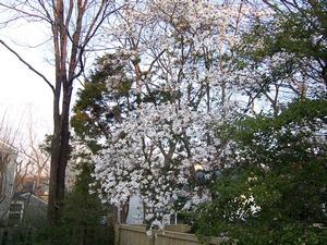 floweringtreesblog