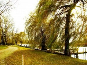 willow-trees-in-fallblog