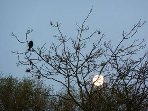 hayfield-moon-birdblog