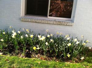 Daffodils2014