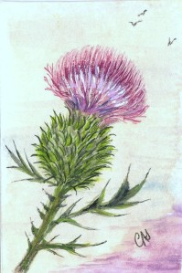 scottish-thistle-drawing