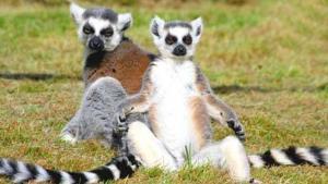 Optimized-Ringtailed_lemurs