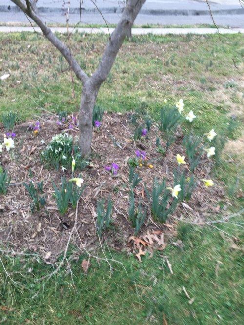 Daffodilsincircle